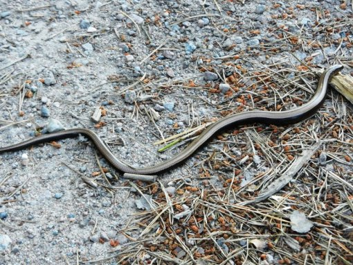 Small copper snake