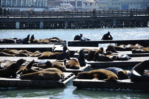 Wildlife at Pier 39