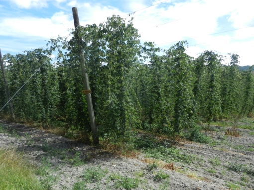 Motueka hops - this is the only area in NZ where they are grown