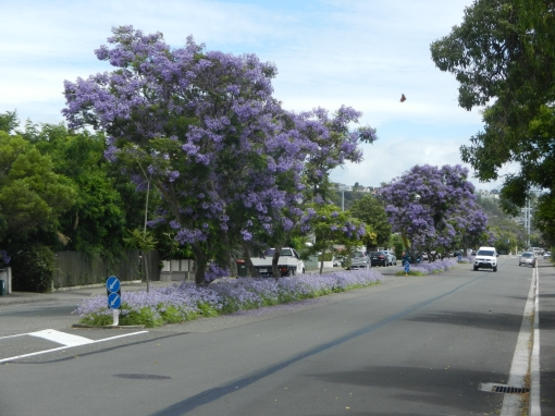 Colourful jacaranda trees in Nelson