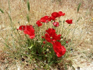 Poppies outside the Monastery of Spillianis