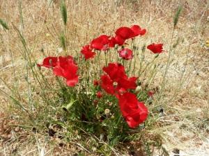 Poppies outside the Monastery of Spillianis