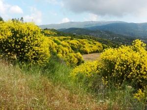 Forsythia on the hills near Kastania