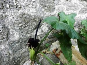 An unusal black flower inside the abandoned windmill at Mytinilinii