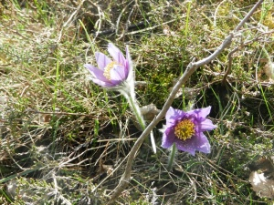 Unusual flowers on the burial mounds at  Gamla Uppsala
