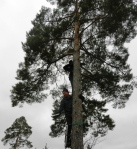 A couple of ornithologists perched in a pinus sylvestris