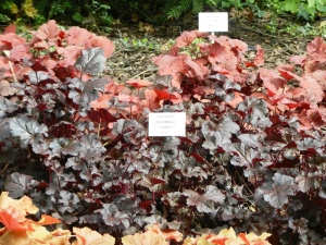 Multicoloured heucherella in the botanical gardens
