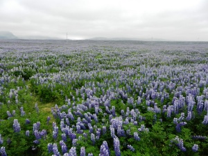 Lupins as far as the eye can see.