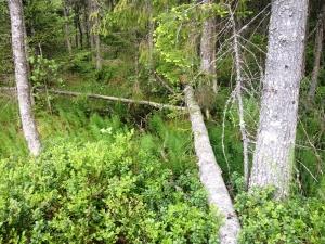 Fallen tree across a stream