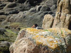 One of the local inhabitants at Corbière