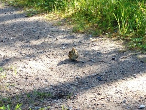 A baby thrush on the track