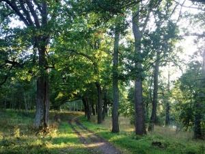 An avenue of mighty oaks